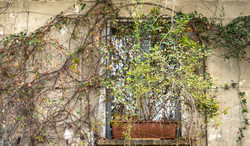 Window covered with vines