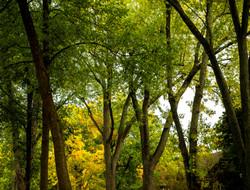 Fall Trees (5 X 4)  copy