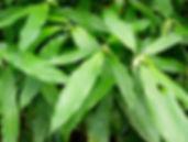 1_Lead_Rubiaceae_Psychotria_cenepensis_Q