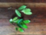 Clarisia biflora #447.jpeg