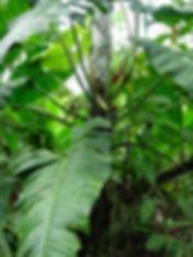 850_1_Lead_Araceae_Philodendron_Lapita_P