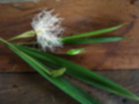 900_Cyclanthaceae_Q_Yacu_Lisan_Photo_Swa