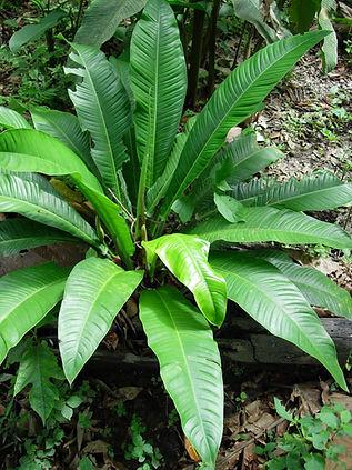 850_1_Lead_Araceae_Anthurium_spp.jpg