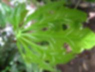 Anthurium_13_Photo_Swanson (1).jpg