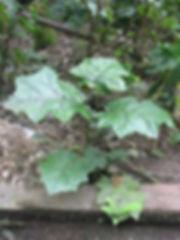 Solanaceae_Solanum_ stramonifolium-1.jpg
