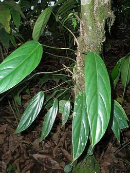 Araceae_Philodendron_Spp 03_Photo_Swanso