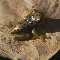 spotted frog 950.jpg