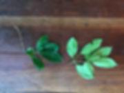 Nyctaginaceae Guapira.jpg