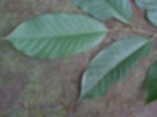 Myristicaceae_Bula_Panga_Wapa_Photo_Swan