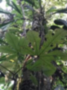 Urticaceae Pourama guianensis 3.jpg