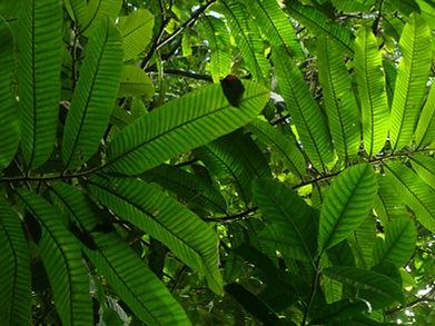 Myristicaceae_Virola_4.JPG