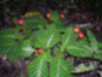 Gesneriaceae_Pearcea.jpg