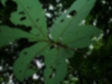 Myristicaceae Virola multinervia.JPG