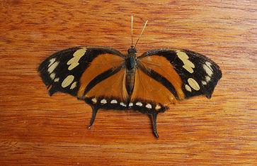 butterfly 33 2.jpg