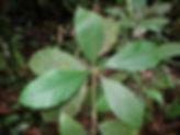 1_Lead_Rubiaceae_Duroria_hirsuta_Gilbert