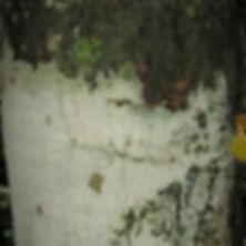 275 Challua_Casp bark.jpg