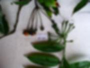 margravaceae EG1.JPG