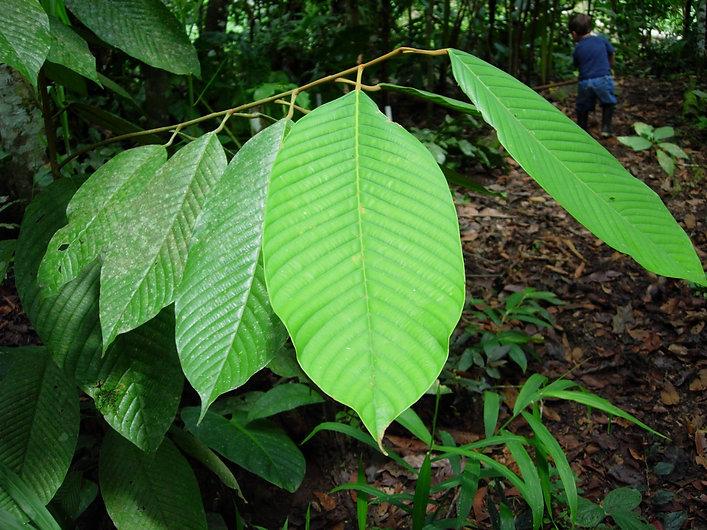 Olacaceae Minquartia guianensis 1.jpg
