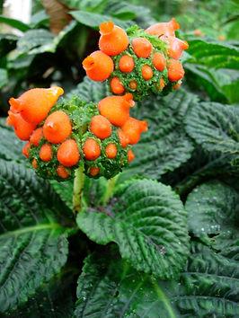 Gesneriaceae_Gasteranthus_corallinus 2.j