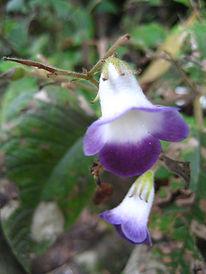 Gesneriaceae_Monopole_macrocarpa.jpg