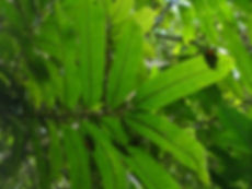 Myristicaceae_Virola_4_3.JPG