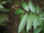 Trophis caucana 2.jpg