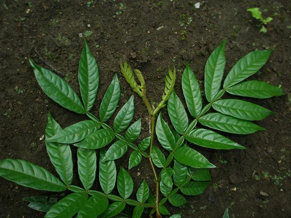 Fabaceae_Inga_Spp_06_Photo_Swanson.JPG