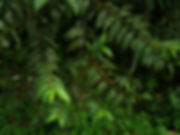Cannabaceae_Trema_Micrantha_Shalipo_Phot