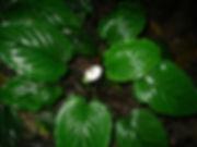 1_Lead_Araceae-Spp_9_Gilbert.jpg