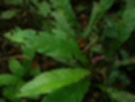 Araceae_Anthurium_08.JPG