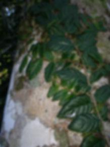 Gesneriaceae_Drymonia.JPG