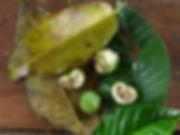 Moraceae_Ficus_Q_Ila_Yura_Photo_Swanson.