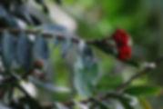 Marcgravia flower.jpg