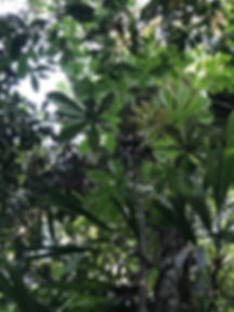Urticaceae Pourama guianensis.jpg