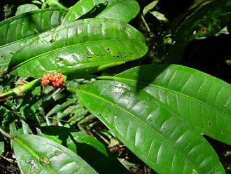 850_1_Lead_Araceae_Spp_1.jpg