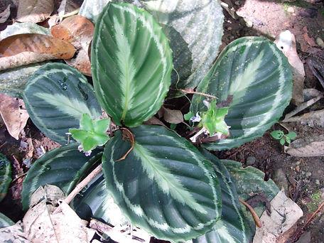 0_Marantaceae_Uu_Spp_ 4.jpg