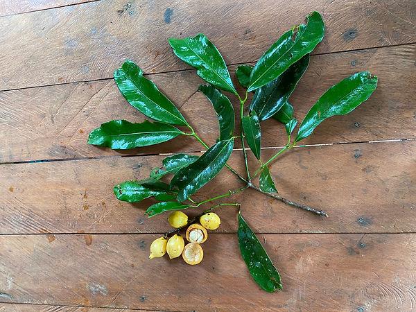 Garcinia macrophylla 1jpg.jpg