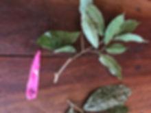 Moraceae Sorocea steinbachii 5.jpg