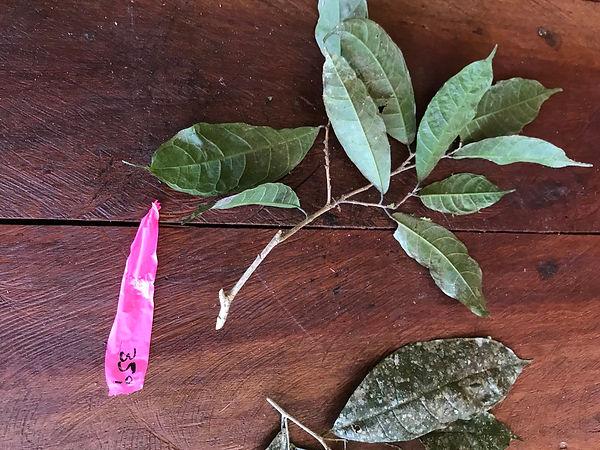 Moraceae Sorocea pubivena.jpg