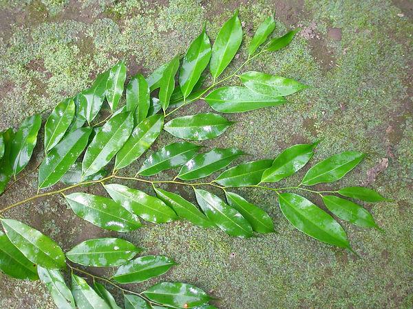 Moraceae_Clarissa_racemosa_Q_Atun_Chinch