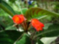 Gesneriaceae_Pearcea_sprucei.jpg