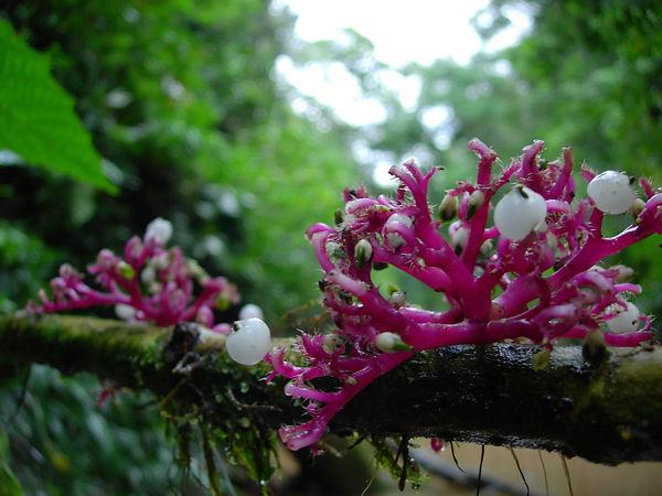 Urticaceae_Urera_caracassana.jpg