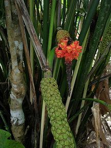 850_Cyclanthaceae_Lisan.jpg