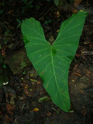 Araceae_variegatum_Photo_Swanson.JPG