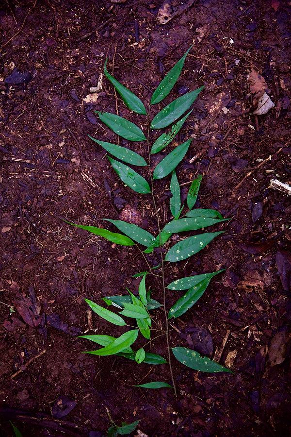 Chrysobalanaceae Licania.jpeg