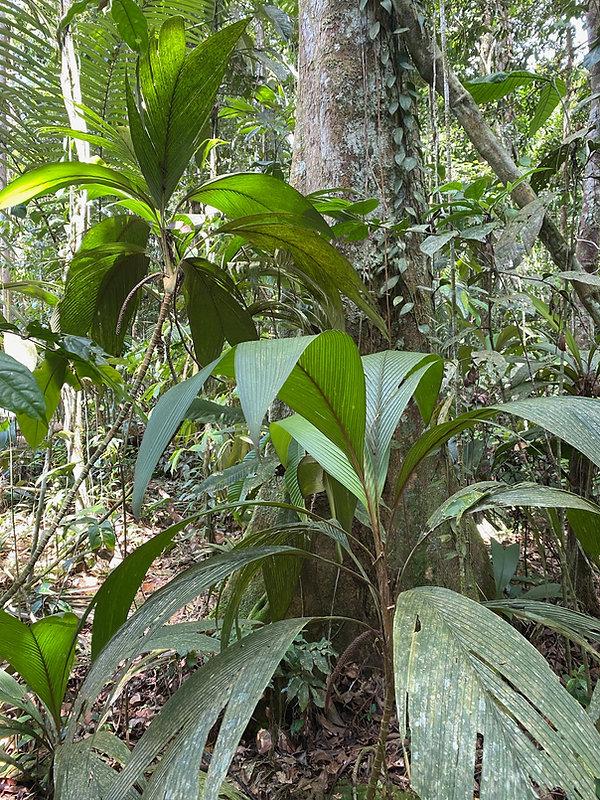 Arecaceae Geonoma stricta 1.jpg