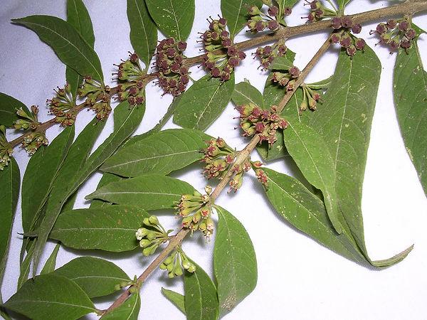 0_Flacourataceae_Spp_1_Landrum_1.jpg