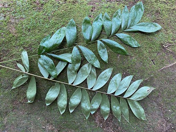 Arecaceae Bactris maraja.jpg