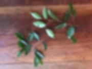 Moraceae Pseudolmedia laevis 3.jpg