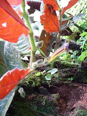 Gesneriaceae_Columnea_tenensis.jpg